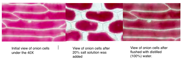 osmosis in onion cells experiment
